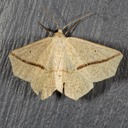 6963 Yellow Slant-line Moth (Tetracis crocallata)