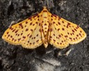 5230 Red-spotted Sweetpotato Moth (Polygrammodes elevata)