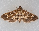5150 Assembly Moth (Samea ecclesialis)